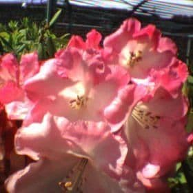 Rhododendron 'Point Defiance'